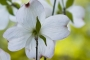 oak_grove_dogwood2