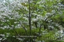 shadyside_dogwood_1